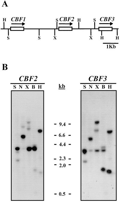 The Arabidopsis CBF gene family is composed of three genes encoding AP2 domain-containing proteins whose expression Is regulated by low temperature but not by abscisic acid or dehydration.